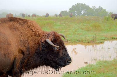 Buffalo at Pawnee Bill Ranch, Oklahoma